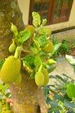 Zebethinus de durian de durian Photographie stock libre de droits