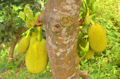 Zebethinus de durian de durian Photographie stock