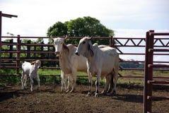 Zeboes in Costa Rica Royalty-vrije Stock Fotografie