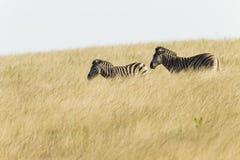 Zebr Dwa obszaru trawiastego przyroda Zdjęcia Stock