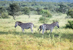 Zebr dzikie zwierzęta Zdjęcie Royalty Free