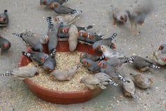 Zebr finches, ptaki, karmi na ziarnach zdjęcia stock