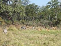 Zebr i impalas parka narodowego zambiów safari Afryka natury przyroda fotografia stock