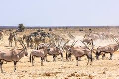 Zebr oryxs Namibia Zdjęcia Stock