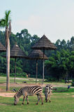Zebra� Stock Photos
