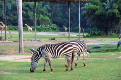 Zebra� Stock Photo