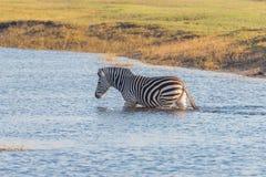 Zebraüberfahrt Chobe-Fluss Stockbild