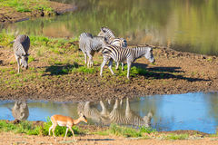 Zebraüberfahrt Chobe-Fluss Stockfotos