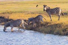 Zebraüberfahrt Chobe-Fluss Stockbilder