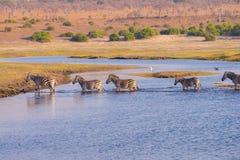 Zebraüberfahrt Chobe-Fluss Lizenzfreie Stockbilder