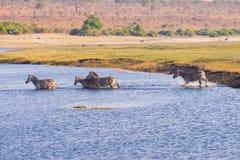 Zebraüberfahrt Chobe-Fluss Lizenzfreies Stockfoto