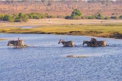 Zebraüberfahrt Chobe-Fluss Stockfotografie