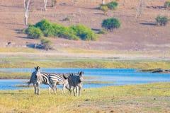 Zebraüberfahrt Chobe-Fluss Glühendes warmes Sonnenunterganglicht Safari der wild lebenden Tiere in den afrikanischen Nationalpark Stockfotografie