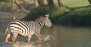 Zebraüberfahrt ein Fluss Lizenzfreie Stockfotos