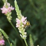 zebrać nectar3 pszczoły Fotografia Royalty Free