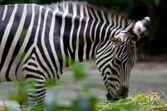 A zebra é pastar, agarrada no jardim zoológico de Singapore Imagens de Stock Royalty Free