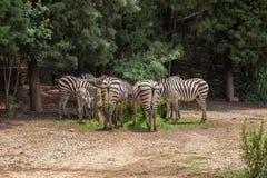 A zebra é um termo genérico para as três espécies de besouros do gênero himenópteros Nomeado para as marcações protetoras na BO imagens de stock royalty free