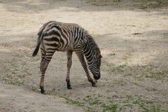 Zebra źrebak zdjęcia stock