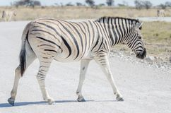 Zebra żwiru białej szarej drogi w Etosha parku narodowym skrzyżowanie, Namibia, afryka poludniowa Obrazy Stock