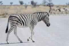 Zebra żwiru białej szarej drogi w Etosha parku narodowym skrzyżowanie, Namibia, afryka poludniowa Obraz Royalty Free