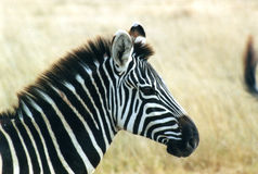 Zebra 01 Foto de Stock Royalty Free