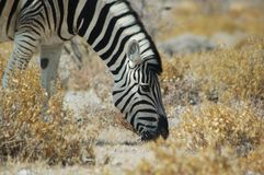 Zebra #1 Royalty Free Stock Images