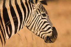 Zebra #10 Royalty Free Stock Photo