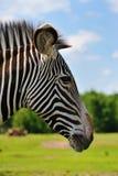 Zebra. Close-up of a beautiful zebra Stock Image