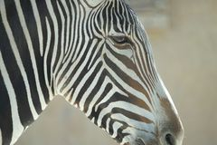 Free Zebra Stock Photo - 101145940