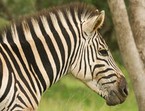 Zebra. At a game park in South Africa Royalty Free Stock Photo