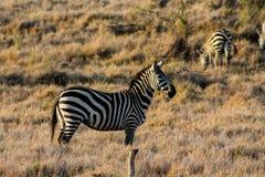 Zebra Zdjęcia Royalty Free