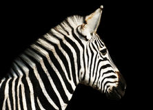 Zebra. A Burchell's Zebra on black background royalty free stock photo