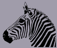 Zebra. An image of a zebra with black and grey in the skin and background areas Royalty Free Stock Photography
