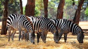 Zebra. Each Animal Has An Individual Striping Pattern Royalty Free Stock Photo
