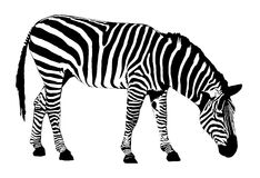 Free Zebra Stock Photography - 1051152