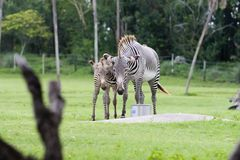 Zebra. African Zebra Stock Images