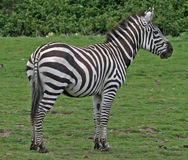 Zebra 11 Royalty Free Stock Image