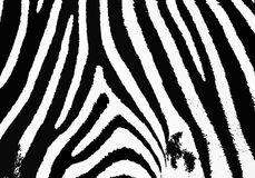 Zebra. Background black and white Stock Photography