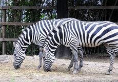 Zebra. There are two beautiful zebra at the zoo feeding Stock Images