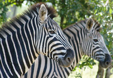 Zebra. Wild zebra in South Africa Stock Photos
