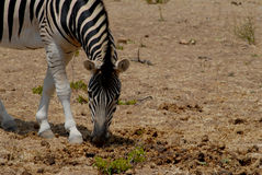 Zebra Fotografie Stock