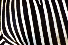Zebra. Black and white zebra lines Stock Photography