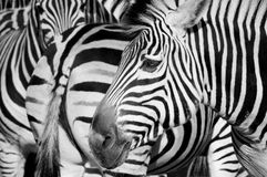 Zebra. Herd of zebra in Riga zoo Royalty Free Stock Photo
