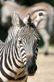 Zebra. Burchell's zebra was guarded, closely examines savanna Royalty Free Stock Images