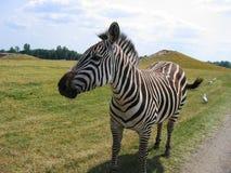 Zebra Lizenzfreie Stockfotografie