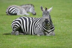 Zebra. S resting on the field Stock Image