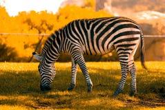 Zebra. A zebra grazing on grassland Stock Photo