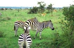 Zebra. At the Nairobi National Park Stock Images