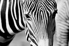 Zebra. Black and white picture of zebra, horizontally framed shot royalty free stock image