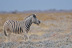 Zebra. The Zebra, Equus Quagga, calling to the group Stock Photo